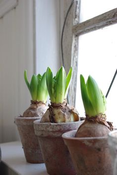 Flowering bulbs popping up in the garden is the very first sign that Spring is not far away. Seasonal Flowers, Fresh Flowers, Spring Flowers, Garden Bulbs, Garden Pots, Bulb Flowers, Flower Pots, Indoor Garden, Indoor Plants