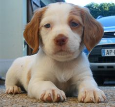 Heliott, chiot Épagneul breton, puppy Cute Puppies, Dogs And Puppies, Innocent Love, Cutest Puppy Ever, Brittany Spaniel, Animals Of The World, Little Dogs, Animal Drawings, I Love Dogs