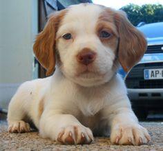 Heliott, chiot Épagneul breton, puppy