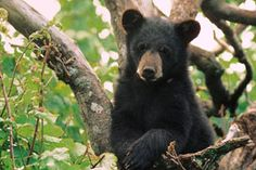 A bear in the Great Smoky Mountains near Gatlinburg. #Smoky #Mountains #Hiking…