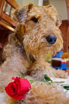 My sweet Airedale Terrier, Abra
