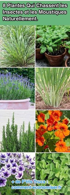 8 Plantes Qui Chassent les Insectes et les Moustiques Naturellement.