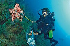 Belize lionfish hunting recognized as one of the best marine experiences in the world! Don't worry, it's ethical, too! Las mejores experiencias marinas en el mundo http://foodandtravel.mx/las-mejores-experiencias-marinas-mundo?utm_source=Newsday+Tuesday+March+28,+2017&utm_campaign=newsday+tuesday&utm_medium=email