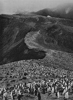 Sebastiao Salgado, Chinstrap Penguins (Pygoscelis Antarctica), Deception Island, Antarctica, 2005, gelatin silver print