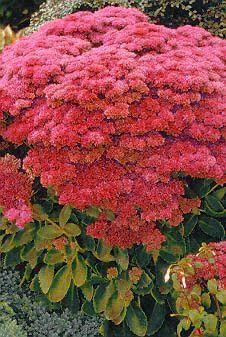 http://www.soonerplantfarm.com/plant/sedum-autumn-joy/