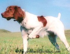 Brittany Spaniel! Great hunting dogs.