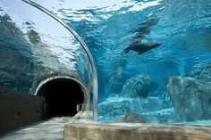 Sea Lion Sound tunnel, the latest attraction at the Saint Louis Zoo. Insert in photo. Fun follows.