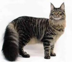 The Maine Coon Cat is a long-haired breed native to Maine. Find Maine Coon Cat pictures and info, such as characteristics, care tips, & more, on petMD. Gatos Maine Coon, Chat Maine Coon, Maine Coon Kittens, Cats And Kittens, Ragdoll Kittens, Tabby Cats, Funny Kittens, Bengal Cats, White Kittens