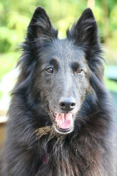 Jetaime Esprit de la Dance Belgian Shepherd, Love Me Forever, Labrador, Cute Animals, Photography, Pretty Animals, Photograph, Labradors, Cute Funny Animals