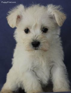 A Schnoodle puppy (Schnauzer and poodle)