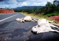 BLOG DO JOSÉ BONIFÁCIO: BR-235/PI: Imagem de animais atropelados serve de ...