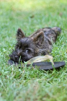 Looks like a baby pic from when my cairn Riley was small Cute Puppies, Cute Dogs, Dogs And Puppies, Doggies, West Highland Terrier, Australian Shepherds, Beautiful Dogs, Animals Beautiful, Cairns