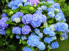 """In front of office - Endless Summer Hydrangeas. They will bloom either pink or blue depending on the pH of your soil. This is considered """"The Original"""" or best selling hydrangea. Hortensia Hydrangea, Hydrangea Care, Hydrangea Macrophylla, Hydrangea Plant, Flowers Garden, Garden Plants, Indoor Plants, Colorful Flowers, Perennials"""