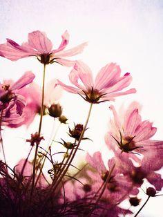 Her Secret Garden - pink Floral Photograph - room decor wall art pink cosmos flowers garden for her feminine pastels. Cosmos Flowers, Pink Flowers, Garden Wall Art, Garden Path, Dream Garden, Evergreen Vines, Nature Photos, Canvas Wall Art, Nature Photography