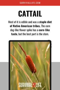 The wild is a garden of free edibles waiting to be harvested as long as you know what to go for. Cattail was a staple diet of Native American tribes. Find out how you can eat this wild plant! #cattail #ediblewildplants #edibleplants #foraging #survivalfood #survival #preparedness #survivallife Survival Life Hacks, Survival Supplies, Survival Food, Emergency Preparedness, Survival Tips, Survival Skills, Elderberry Uses, Outdoor Shelters, Wild Ginger