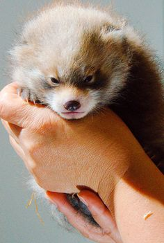 Fargo's Red River Zoo welcomed a new baby Red Panda, on June 14. It's a boy and his name is Mattie. Mattie will serve as an ambassador for the Red River Zoo and a mascot for MATBUS, the city's public bus system. Learn more today on ZooBorns.com. http://www.zooborns.com/zooborns/2013/07/little-red-panda-born-at-red-river-zoo.html