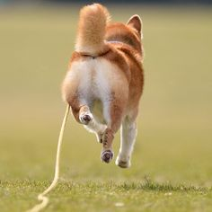 flying shiba! ^^