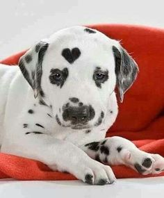 dalmatian pup wears his heart on his head Cute Puppies, Cute Dogs, Dogs And Puppies, Cute Babies, Doggies, Baby Dogs, Cute Baby Animals, Animals And Pets, Funny Animals