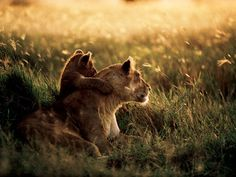 A Lioness and her cub (National Geographic)