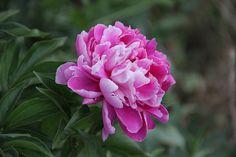 Çiçek, Doğa, Pembe Şakayık