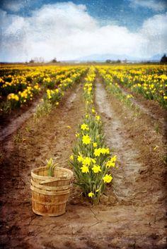 #landscape #daffodils #washington spring field country #flowers Landscape #displate #metal
