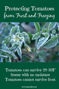 tomatoes from frost and freezing Protecting tomatoes from frost and freezing with Tomato Dirt. Helpful tomato growing tips.Protecting tomatoes from frost and freezing with Tomato Dirt. Helpful tomato growing tips. Freezing Tomatoes, Growing Tomatoes From Seed, Growing Tomato Plants, Tomato Seedlings, Growing Tomatoes In Containers, Growing Vegetables, Grow Tomatoes, Baby Tomatoes, Tomato Pruning