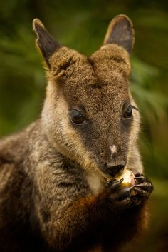 Short-eared rock-wallaby (Petrogale brachyotis) is a species of rock-wallaby found in northern Australia, in the northernmost parts of Northern Territory and Western Australia. It is much larger than its two closest relatives, the nabarlek (Petrogale concinna) and the monjon (Petrogale burbidgei).