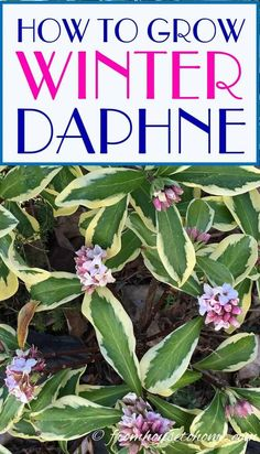 These tips on how to grow Daphne are the BEST! Now I know what to plant in the shade under the trees in my garden. I love that it is evergreen, fragrant and blooms in the winter! #fromhousetohome #daphne #plants #shrubs #gardening
