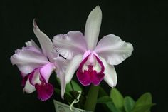 Cattleya intermedia marginata
