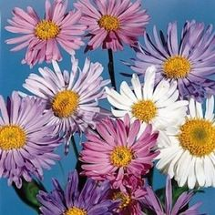 """Alpine Aster   6-12"""" tall and 1' wide  Blooms Late Spring - Summer.   Flowers in lavender, blue, rose, pink, and white shade - Mounding Delightful perennial for the front of the border or in rock gardens. Performs best in cold winter areas and in part shade. Winter hardy to zone 4."""
