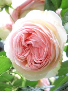 Pierre de Ronsard climbing rose
