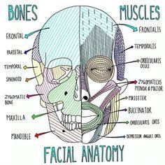 The Larynx – Blood and Nerve Provide – free medical books Med Student, Nursing School Notes, Medical School, Ob Nursing, Nursing Schools, Funny Nursing, Anatomy Bones, Skull Anatomy, Grey's Anatomy