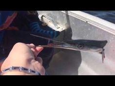 Hovedløs bidende hornfisk