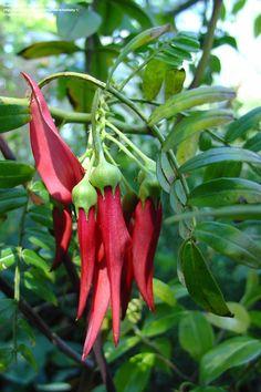 new zealand native plants - Google Search