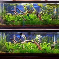 """121 Likes, 1 Comments - Garrett Beck (@fishfoolery) on Instagram: """"Before and After....Trim and Water Change ✂️"""""""