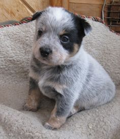 Australian cattle dog pup - how adorable is this little one?!