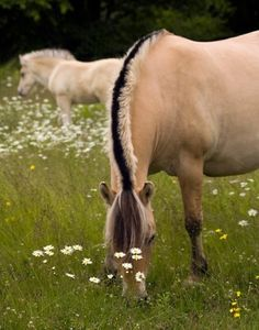 norwegian fjord horses...