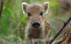 壁紙をダウンロードする 小野生イノシシ, 森林, かわいい動物たち, 豚, 緑の芝生, 小豚