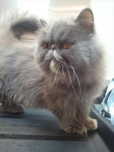 Tiger Lily is a Persian mix who loves to cuddle close!