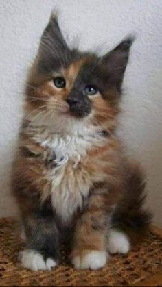 Cute Baby Cats, Cute Little Animals, Cute Cats And Kittens, I Love Cats, Crazy Cats, Cool Cats, Kittens Cutest, Ragdoll Kittens, Tabby Cats
