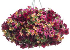 Container 'Let's Get Together' featuring: Petunia 'Supertunia Black Cherry' with Calibrachoa 'Superbells Holy Moly' & 'Superbells 'Cherry Star' Hanging Flower Baskets, Flower Planters, Hanging Plants, Potted Plants, Container Flowers, Container Plants, Container Gardening, Home Garden Plants, House Plants
