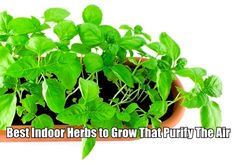 8 best indoor herbs to grow that purify the air we breathe.