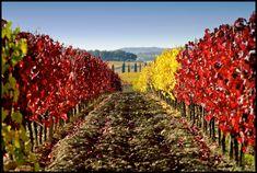 Vigne giallo-rosse... #buongiorno :-)