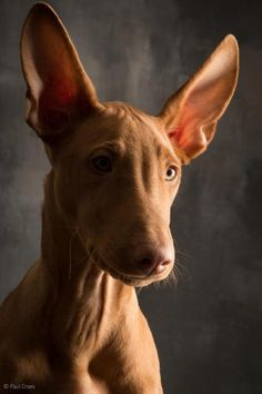 The smile ! Hound Breeds, Dog Breeds, Sweet Dogs, Cute Dogs, Pharaoh Hound Puppies, Borzoi Dog, Whippets, Magyar Agar, Ibizan Hound