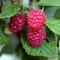 El cultivo de frambuesas y otros frutos del bosque