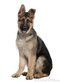 german shepherd puppy - Google Search