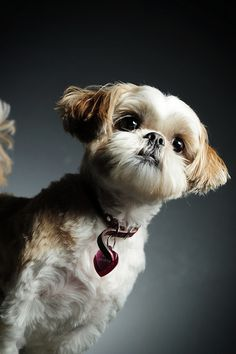 Shih Tzu - This one looks a lot like our Gus. Hes 13 now, and our best friend. Hes the only dog in the house these days. Hes an old man, and doesnt like to share his people. RW Love Your Dog? Visit our website NOW!