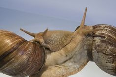 Snail slime skin care a giant african land snail achatina fulica amazing mollusks images of strange slimy snails giant african freerunsca Gallery