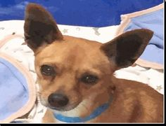 Meet Tux, a Petfinder adoptable Chihuahua Dog | Calgary, AB | Little Tux had no home to call his own - then one day was he picked up by animal control and...