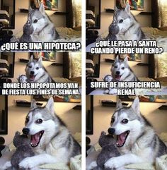 Los 22 mejores memes del husky siberiano chistoso | Todo Virales Funny Husky Meme, Dog Quotes Funny, Funny Animal Memes, Funny Dogs, Funny Animals, Memes Humor, Memes Br, Funny Memes, Hilarious
